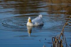 Pato branco pesado de Pekin do pato masculino igualmente conhecido como Aylesbury ou natação do pato de Long Island em um lago ai foto de stock