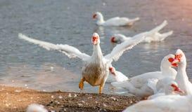 Pato branco que corre na costa Imagem de Stock Royalty Free