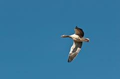 Pato bravo europeu Imagens de Stock Royalty Free