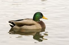 Pato calmo Fotografia de Stock Royalty Free