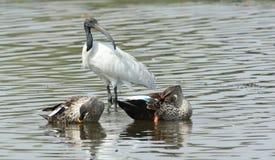 Pato cargado en cuenta punto con Ibis blanco de cabeza negra Fotografía de archivo