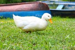 Pato casero Fotos de archivo libres de regalías