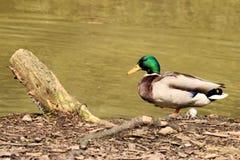 Pato cerca de un lago Fotos de archivo libres de regalías
