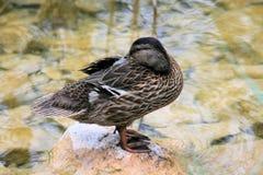 Pato cerca de un lago Imagenes de archivo