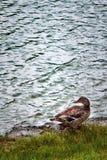Pato cerca del lago fotos de archivo libres de regalías