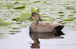 Pato cinzento do Norte da Europa imagem de stock royalty free