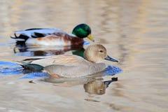 Pato cinzento do Norte da Europa e pato selvagem masculinos Foto de Stock