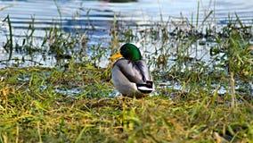 pato Cinzento-verde no rio Fotografia de Stock