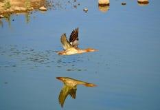 Pato-colhereiro do norte Fotos de Stock Royalty Free