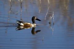 Pato-colhereiro do norte, clypeata dos Anas fotografia de stock royalty free