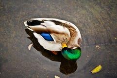 Pato coloreado fotos de archivo