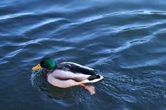Pato colorido fotografia de stock