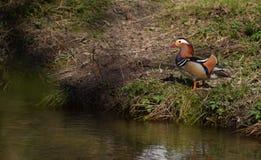 Pato colorido cerca del lago Foto de archivo