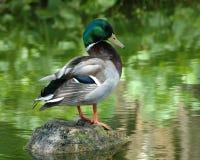 Pato colorido do pato selvagem Foto de Stock