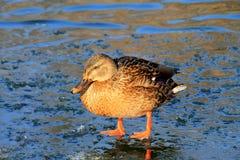 Pato colorido que está no gelo no inverno, Fotografia de Stock Royalty Free