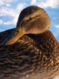 Pato com cabeça torcida Fotografia de Stock