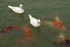 Pato com natação dos peixes do koi na lagoa Imagens de Stock