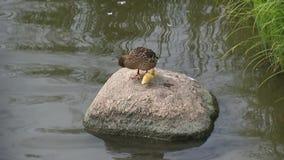 Pato com um patinho amarelo pequeno filme
