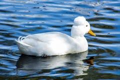 Pato con cresta Foto de archivo libre de regalías