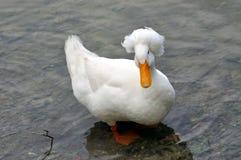Pato con cresta blanco Fotografía de archivo
