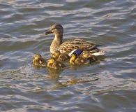 Pato con los anadones Foto de archivo libre de regalías