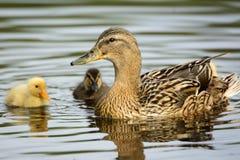 Pato con los anadones en el borde del agua Imagen de archivo
