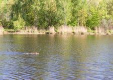 Pato con los anadones que flotan rio abajo Imagenes de archivo