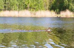 Pato con los anadones que flotan rio abajo Fotos de archivo libres de regalías