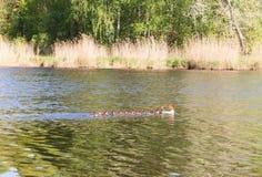 Pato con los anadones que flotan rio abajo Foto de archivo