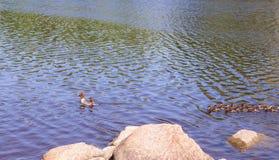 Pato con los anadones que flotan rio abajo Foto de archivo libre de regalías