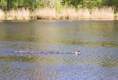 Pato con los anadones que flotan rio abajo Fotos de archivo
