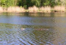 Pato con los anadones que flotan rio abajo Imagen de archivo