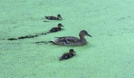 Pato con los anadones que nadan en la charca Fotografía de archivo