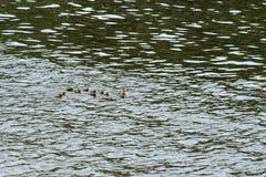 Pato con los anadones que navegan en un r?o en un d?a soleado fotografía de archivo libre de regalías