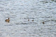 Pato con los anadones que navegan en un r?o en un d?a soleado imagen de archivo
