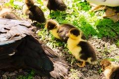 Pato con los anadones que toman el sol en el sol en la granja fotos de archivo libres de regalías