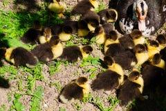 Pato con los anadones que toman el sol en el sol en la granja fotografía de archivo
