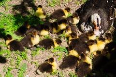 Pato con los anadones que toman el sol en el sol en la granja fotografía de archivo libre de regalías