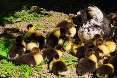 Pato con los anadones que toman el sol en el sol en la granja imágenes de archivo libres de regalías