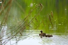 Pato con los pequeños patos Fotos de archivo