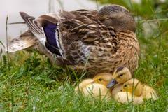 Pato con los polluelos Fotos de archivo libres de regalías
