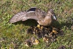 Pato con los polluelos en Holanda Fotografía de archivo libre de regalías