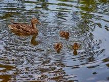 Pato con tres anadones que nadan en el lago fotografía de archivo libre de regalías