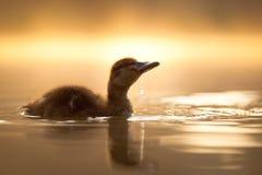 Pato con un descenso Fotos de archivo
