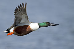 Pato cuchara septentrional en vuelo imagen de archivo