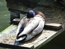 Pato cuidadoso del sueño en el parque zoológico imagen de archivo