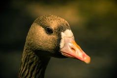 Pato curioso Foto de archivo libre de regalías