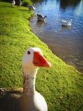 Pato curioso fotos de stock