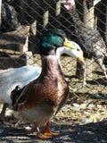 Pato da casa em uma cerca Fotografia de Stock