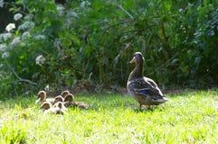 Pato da mãe Fotografia de Stock
